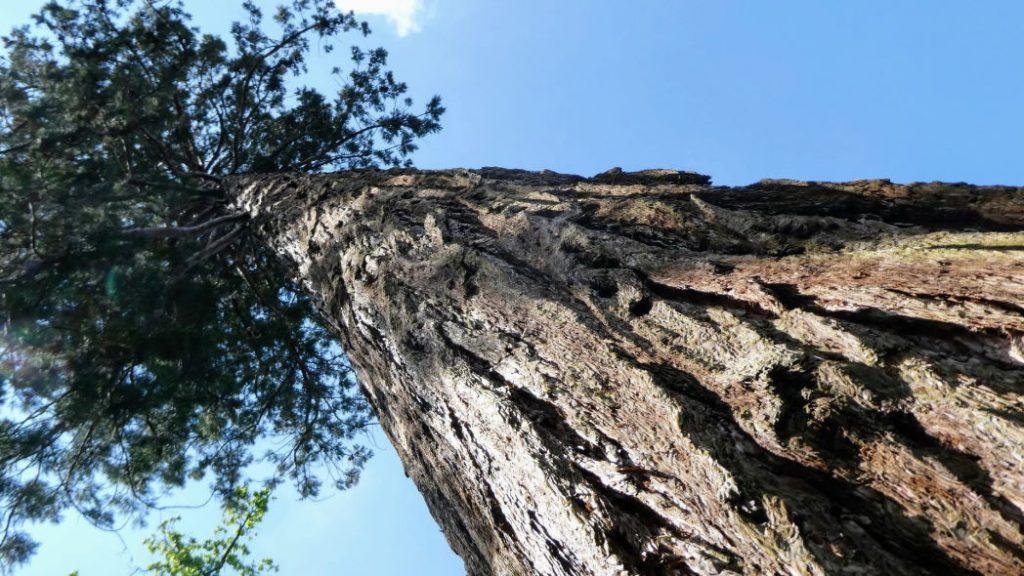 Sequoia Amelisweerd