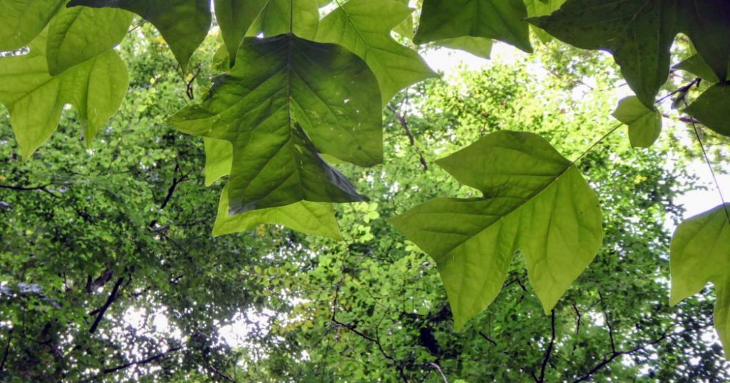 Bladeren Tulpenboom